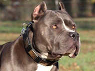 Best Leather Collar With Vintage Massive Plates for BullyPit