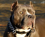 BullyPit Spiked DOG COLLAR - 18 inch and up to 31 inch collar