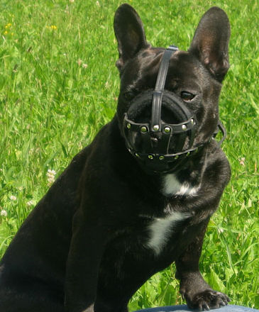 Leather French Bulldog Muzzle for Walking