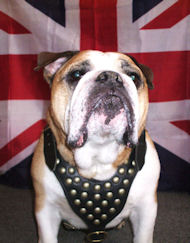 British Bulldog Leather Dog Harness with studds