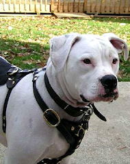 LEATHER Tracking/Walking Dog Harness for American Bulldogs