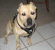Bulldog/Amstaff Walking dog harness
