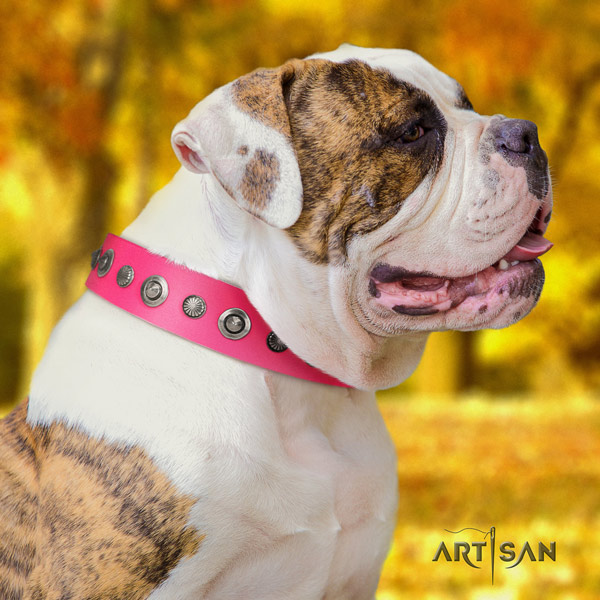American Bulldog adorned genuine leather dog collar with extraordinary studs