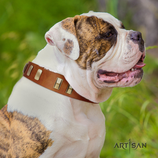 American Bulldog daily walking full grain leather collar with adornments for your pet