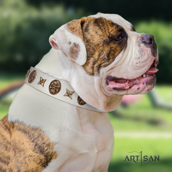 American Bulldog comfy wearing genuine leather collar with embellishments for your canine