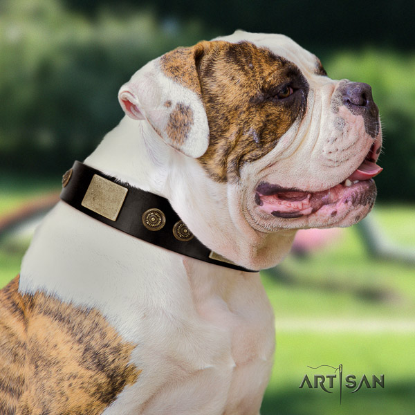 American Bulldog daily use natural leather collar with studs for your four-legged friend