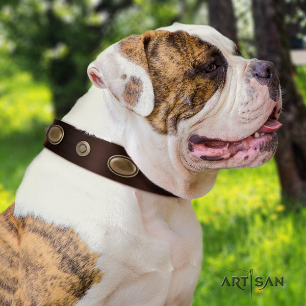 American Bulldog studded genuine leather dog collar with incredible studs