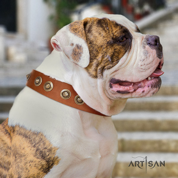 American Bulldog handy use full grain leather collar with embellishments for your canine