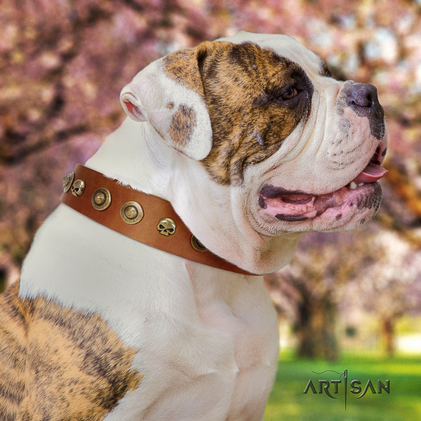 American Bulldog everyday use genuine leather collar with embellishments for your four-legged friend