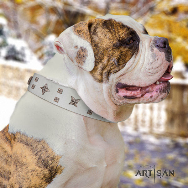 American Bulldog comfy wearing full grain natural leather collar with embellishments for your four-legged friend