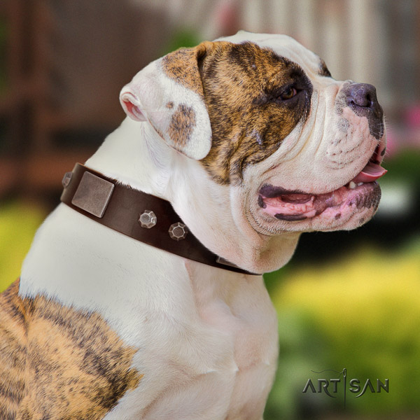 American Bulldog fancy walking full grain natural leather collar with embellishments for your four-legged friend