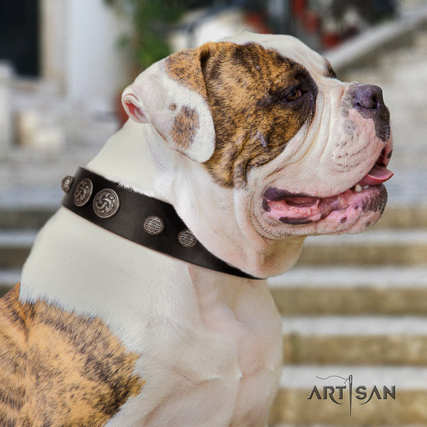 American Bulldog comfy wearing natural leather collar with adornments for your pet