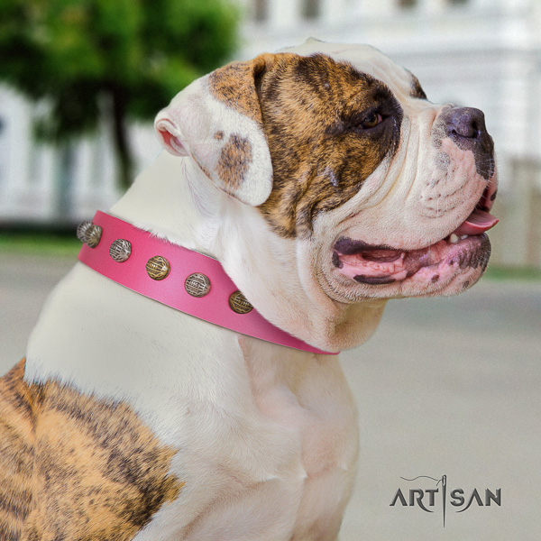 American Bulldog fancy walking genuine leather collar with studs for your four-legged friend