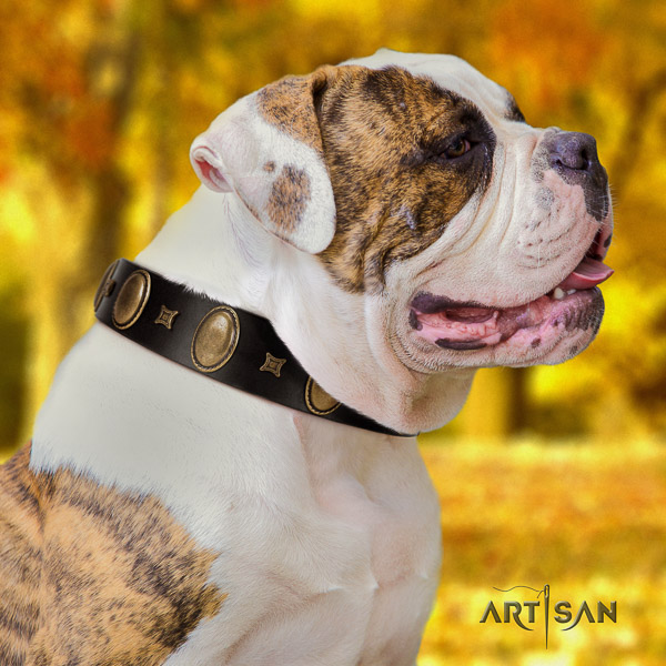 American Bulldog daily use natural leather collar with adornments for your doggie