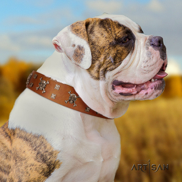 American Bulldog everyday use genuine leather collar with embellishments for your canine