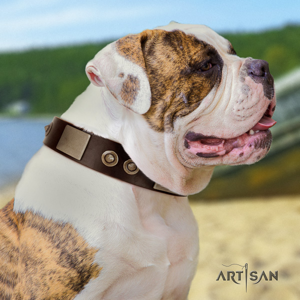 American Bulldog everyday use leather collar with studs for your four-legged friend