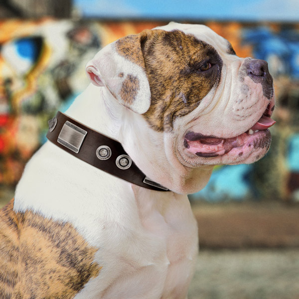 American Bulldog exceptional leather dog collar with decorations