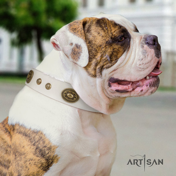 American Bulldog adorned genuine leather dog collar with fashionable embellishments