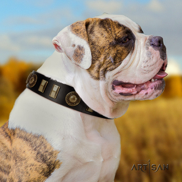 American Bulldog comfortable wearing leather collar with embellishments for your pet