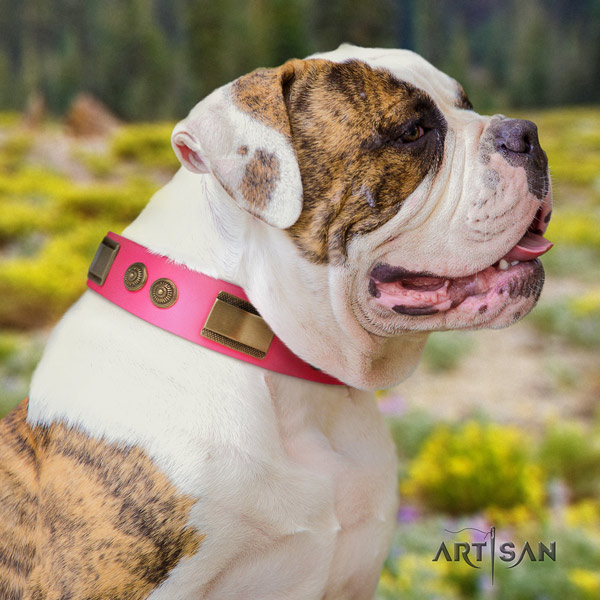 American Bulldog studded genuine leather dog collar with inimitable studs