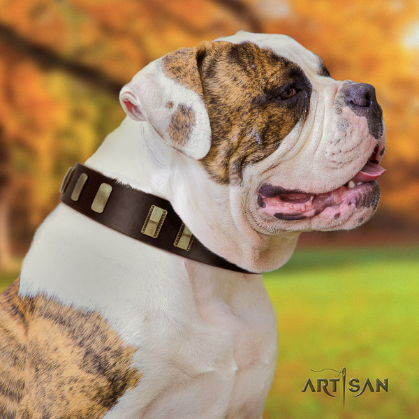 American Bulldog basic training full grain genuine leather collar with adornments for your four-legged friend