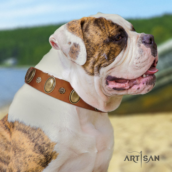 American Bulldog basic training genuine leather collar with adornments for your dog
