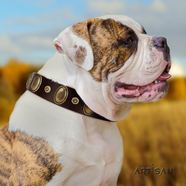 American Bulldog comfortable wearing genuine leather collar with embellishments for your four-legged friend