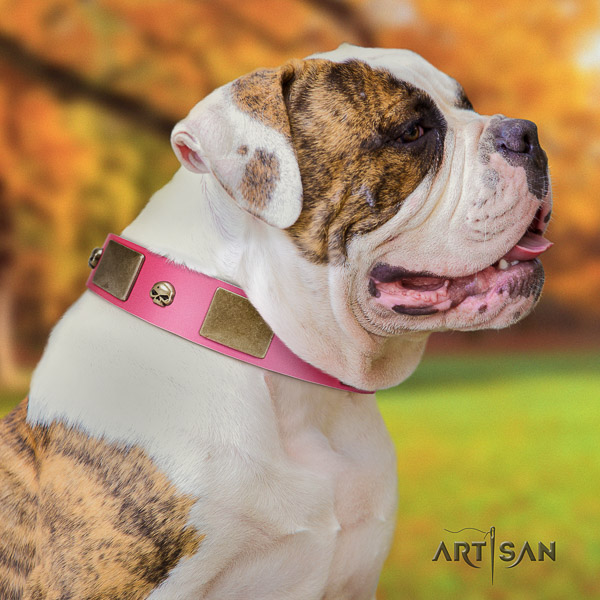 American Bulldog comfy wearing full grain genuine leather collar with studs for your four-legged friend