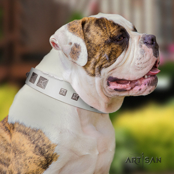 American Bulldog everyday walking genuine leather collar with embellishments for your canine