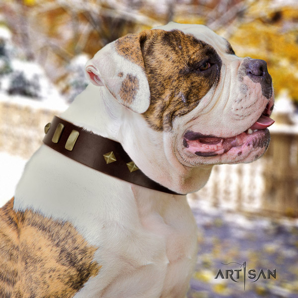 American Bulldog fancy walking genuine leather collar with embellishments for your doggie