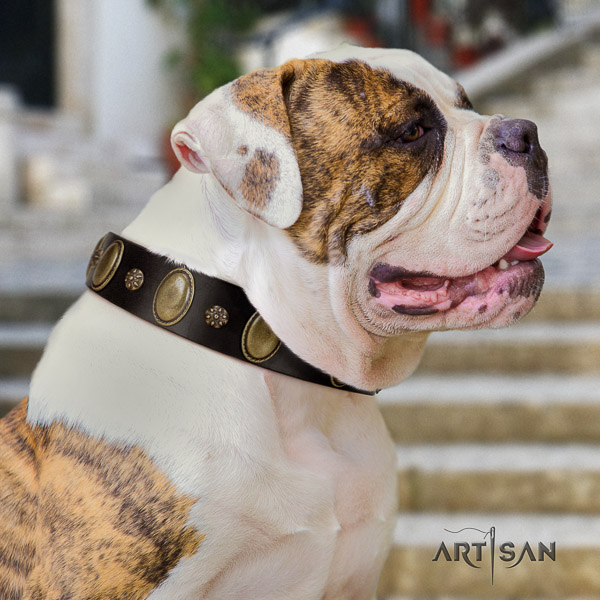 American Bulldog everyday walking full grain leather collar with studs for your canine