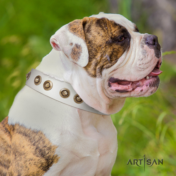 American Bulldog comfortable wearing natural leather collar with decorations for your doggie