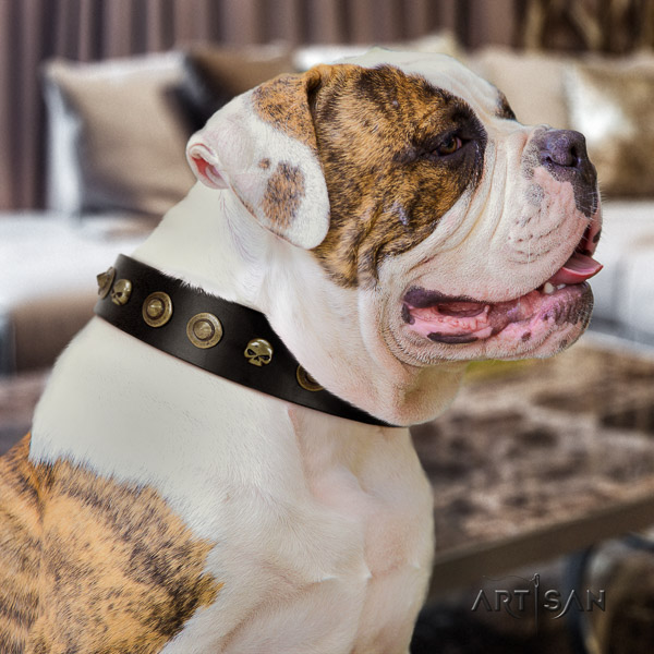 American Bulldog everyday use genuine leather collar with studs for your four-legged friend