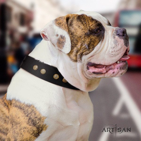American Bulldog studded leather dog collar with fashionable adornments