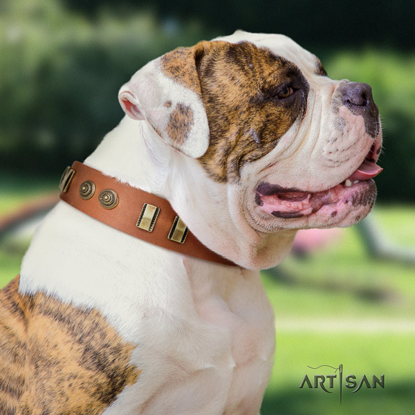 American Bulldog adorned genuine leather dog collar with top notch decorations