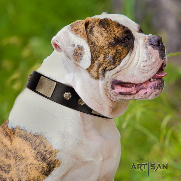 American Bulldog comfy wearing full grain genuine leather collar with embellishments for your dog