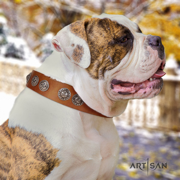 American Bulldog fancy walking full grain leather collar with adornments for your canine