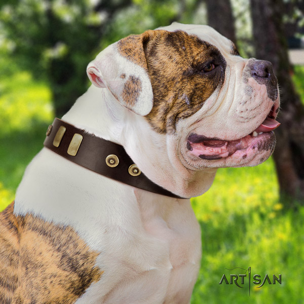 American Bulldog comfortable wearing full grain genuine leather collar with studs for your canine