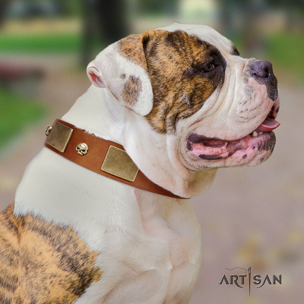American Bulldog daily walking full grain natural leather collar with studs for your dog