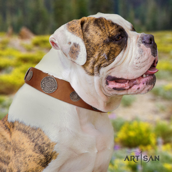 American Bulldog comfy wearing full grain natural leather collar with adornments for your canine