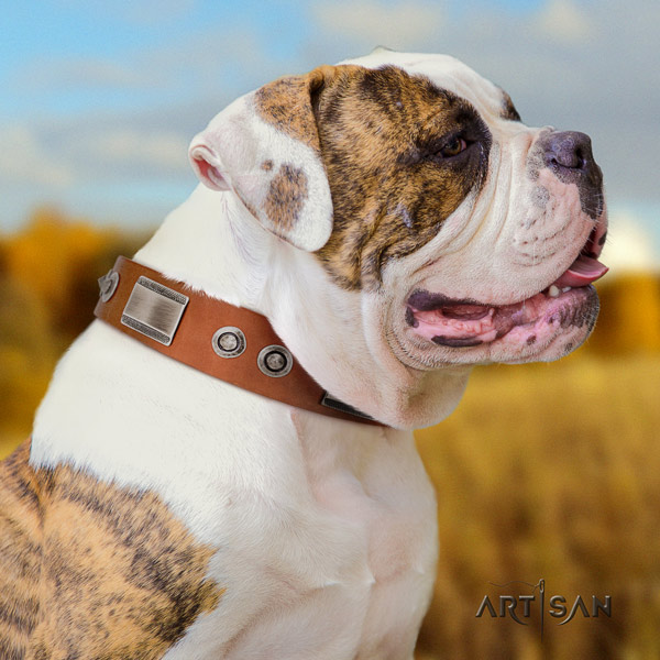 American Bulldog impressive leather dog collar with decorations