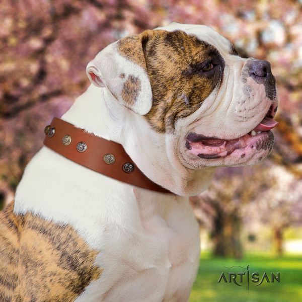 American Bulldog decorated leather dog collar with significant adornments