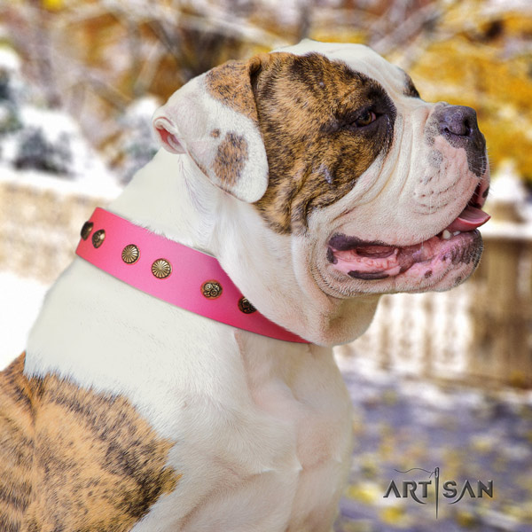 American Bulldog studded genuine leather dog collar with significant adornments