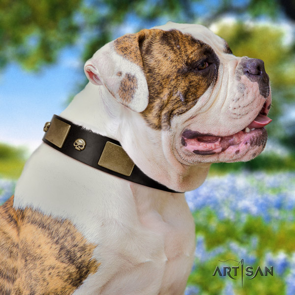 American Bulldog walking full grain genuine leather collar with embellishments for your canine