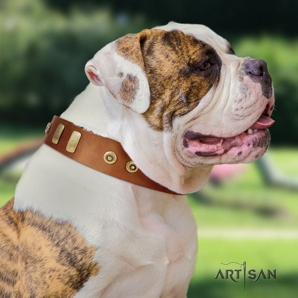 American Bulldog everyday use genuine leather collar with adornments for your doggie