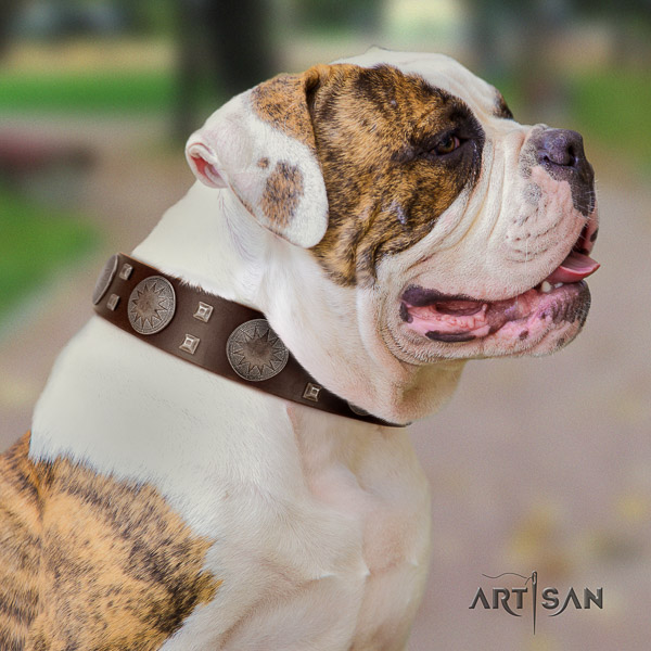 American Bulldog comfortable wearing leather collar with studs for your four-legged friend
