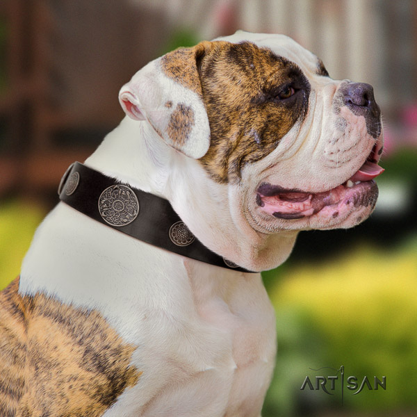 American Bulldog comfy wearing natural leather collar with decorations for your doggie