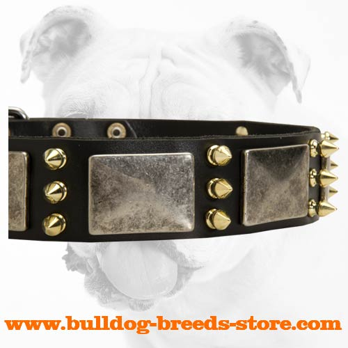 Nickel Plates and Brass Spikes on Walking Leather Bulldog Collar