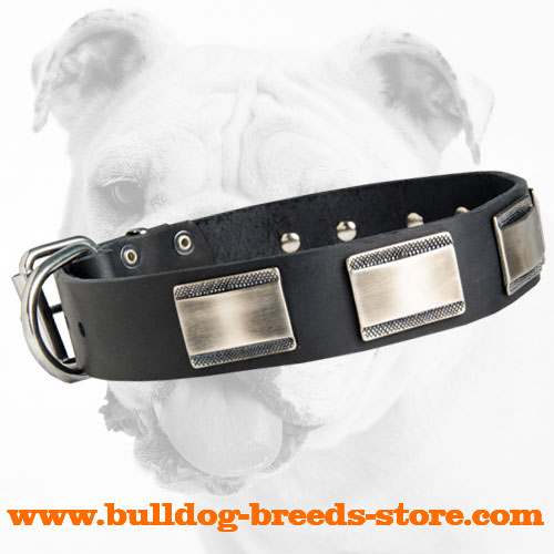 Extravagant Walking Leather Bulldog Collar with Nickel Plates