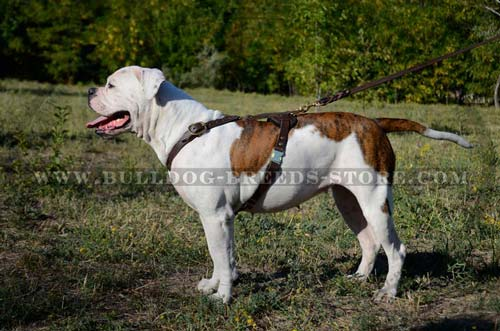 Perfect Training Leather American Bulldog Harness